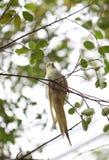 Perruche ou perroquet blanche sur la branche d'arbre Images stock
