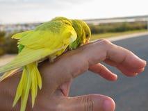 Perruche, perruche, trouvée dehors, nécessitant la délivrance Images libres de droits