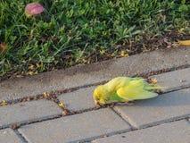 Perruche, perruche, trouvée dehors, nécessitant la délivrance Image libre de droits