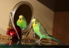 Perruche vert clair avec le miroir Photos libres de droits