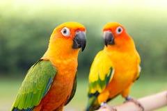 Perruche verte de perroquet Photographie stock