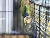 Perruches colorées blanc bleu en gros plan se tenant dans la cage photo libre de droits