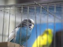 Perruches colorées bleues en gros plan se tenant dans la cage photos stock