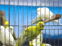 Perruches colorées vertes en gros plan se tenant dans la cage photo stock