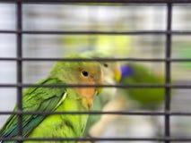 Perruches colorées vertes en gros plan se tenant dans la cage photographie stock libre de droits