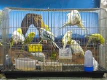 Perruches colorées vertes, jaunes, bleues en gros plan se tenant dans la cage au magasin de bêtes photos libres de droits