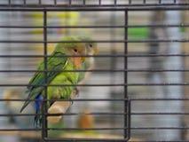 Perruches colorées vertes, jaunes, bleues en gros plan se tenant dans la cage au magasin de bêtes photographie stock libre de droits
