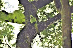 Perruches de Ringneck d'Indien image libre de droits