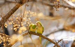 Perruches ou perroquets sur la branche d'un arbre photos stock