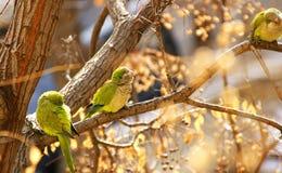 Perruches ou perroquets sur la branche d'un arbre images stock