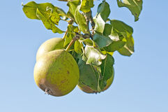Perry-pear Royalty Free Stock Images