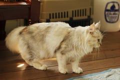 Pers plus Maine coon kota pozycja na drewnianej podłoga Zdjęcia Stock