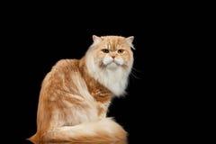 Persa adulto grande vermelho Cat Angry Sits e girado para trás no preto Foto de Stock Royalty Free