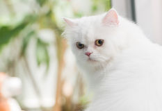 Persa branco Foto de Stock