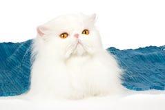 Persa branco com tapete azul, no fundo branco Foto de Stock Royalty Free