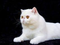Persa exótico del ojo de cobre blanco en el terciopelo negro Imagen de archivo