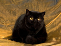 Persa exótico negro en la tela de bronce Fotos de archivo