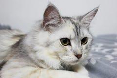 Persa lindo más el gato de mapache de Maine que miente en la cama en casa Imagen de archivo