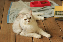 Persa lindo más el gato de mapache de Maine que miente en piso de madera en casa Fotos de archivo libres de regalías