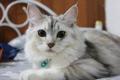 Persa más el gato de mapache de Maine que miente con la mirada de nosotros en la cama en casa Fotos de archivo libres de regalías