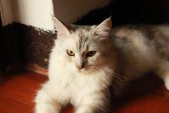 Persa más el gato de mapache de Maine que miente con la mirada de nosotros en la cama en casa Fotografía de archivo