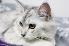 Persa más el gato de mapache de Maine que miente en la cama en casa Foto de archivo
