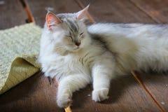 Persa más el gato de mapache de Maine que miente en piso de madera Imagen de archivo