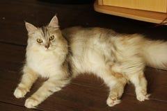 Persa más el gato de mapache de Maine que miente en piso de madera en casa Imagen de archivo
