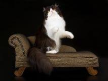 Persa preto e branco no chaise marrom fotos de stock