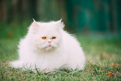 Persan blanc drôle mignon Cat Kitten With Yellow Eyes Resting dedans Images stock