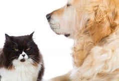 Persan Cat With Golden Retriever Dog Photo stock