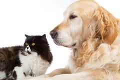 Persan Cat With Golden Retriever Dog Photos libres de droits