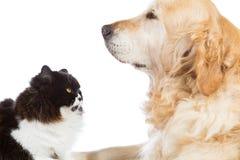 Persan Cat With Golden Retriever Dog Photographie stock libre de droits