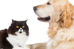 Persan Cat With Golden Retriever Dog Image stock