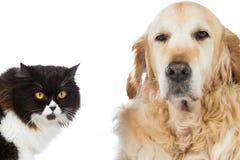Persan Cat With Golden Retriever Dog Image libre de droits
