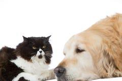 Persan Cat With Golden Retriever Dog Photos stock