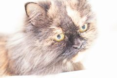A persan cat in high key image looking strange stock photography