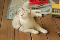 Persan mignon plus le chat de ragondin du Maine se trouvant sur le plancher en bois Photographie stock libre de droits