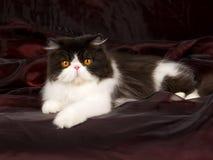 Persan noir et blanc sur le noir de burgund Photographie stock