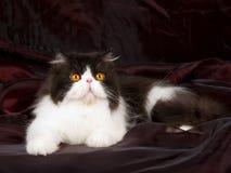 Persan noir et blanc sur le noir de burgund Photographie stock libre de droits