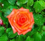Persan orange Rose Photographie stock libre de droits