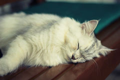 Persan plus le sommeil de chat de ragondin du Maine sur la chaise en bois Photographie stock