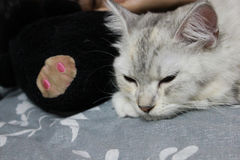 Persan plus le sommeil de chat de ragondin du Maine sur le lit à la maison Photographie stock libre de droits