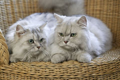 Perscy koty pozuje w Łozinowym krześle Obrazy Royalty Free