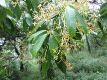 Persea odoratissima, Fragrant Bay Tree. Evergreen tree with lanceolate to narrowly elliptic smooth leather leaves, small yellowish flowers in panicles and royalty free stock photos