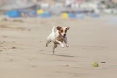 Persecución de la bola del perro Foto de archivo libre de regalías