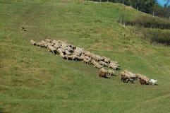 Persecución de ovejas Fotografía de archivo