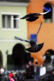 Persecución de palomas Imágenes de archivo libres de regalías