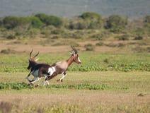 Perseguição de Bontebok Imagens de Stock Royalty Free