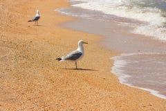 Perseguindo gaivotas Fotografia de Stock